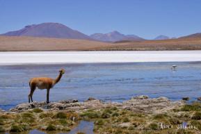02 Vicuña en el Altiplano de Uyuni - Bolivia